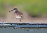 perched willet poster