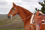 saddlebred with western equipment poster