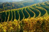 vineyards in autumn - Fine Art prints