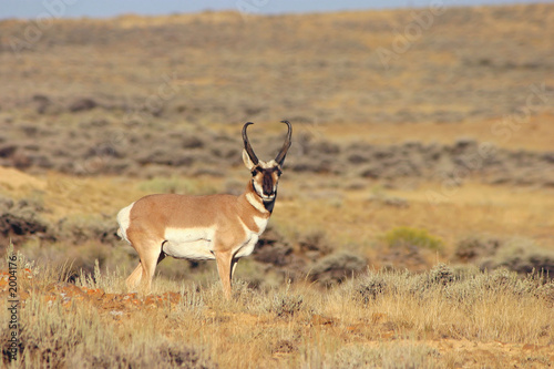 In de dag Antilope antelope buck