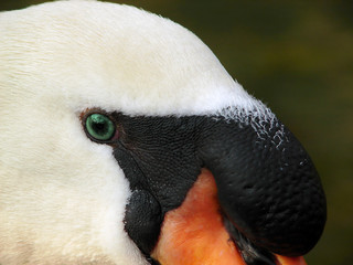 swan eye closeup