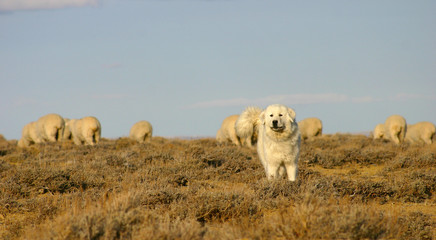 sheep dog protecting herd