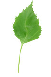 fresh green leaf on pure white background poster