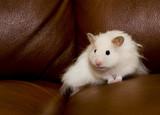 shy white hamster on dark background poster