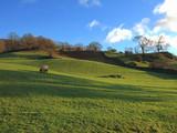 grazing sheep near ambleside poster