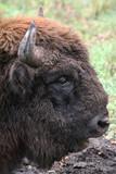 wild bison poster