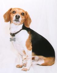 formal beagle