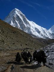 yaks in himalayas
