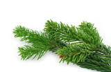 spruce twig on white poster