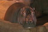 hip hippo poster