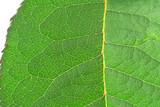 green vivid leaf details poster