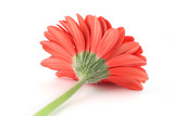 red gerbera from a different angle poster