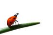 Leinwandbild Motiv the ladybug