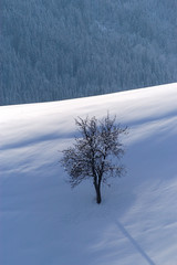 a lonely apple tree in snowy landscape