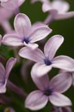 lilac closeup poster