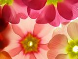 Wiosenne prymulki - 2055345