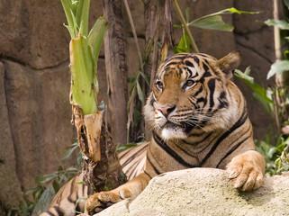 malayan tiger also known as phantera tigir jackson