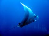 Fototapeta rekin - morze - Ryba