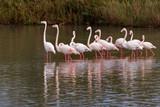 flamingo flock poster