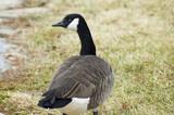goose guard poster