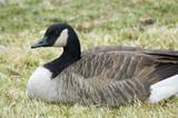 goose resting poster