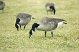 geese grazing poster