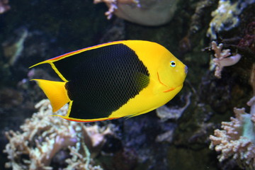 fish with black scales