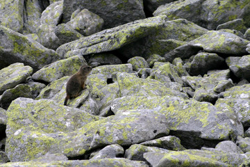 marmot and rocks