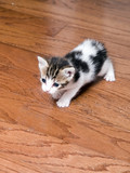 kitten exploring poster