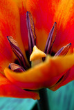 vibrant orange tulip poster