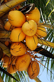yellow coconuts poster