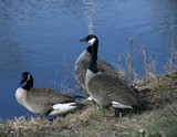 three canadian geese poster