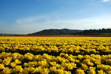 campo di tulipani in provenza