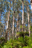 tall eucalypt rainforest poster