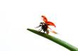 ladybird flight