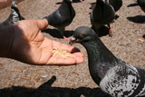 pigeon feed poster
