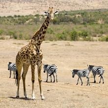 girafe aap