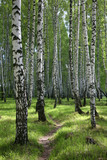 path through birch wood in russia poster