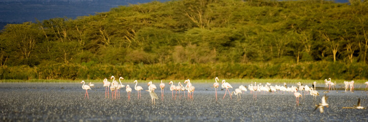 colonie de flamants roses