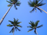 four coconut trees poster