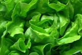 butterhead lettuce 1