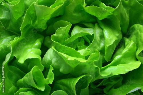 butterhead lettuce 1 - 2099773