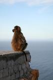 baboons ou singe d'afrique du sud poster