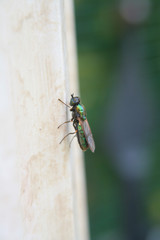 piccola mosca dai riflessi verdi