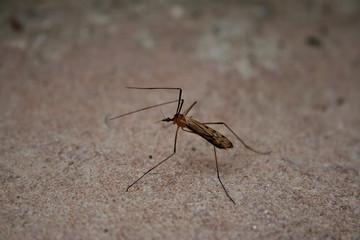 zanzara in cerca di sangue