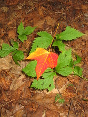 colorful fall leaf on green foliage ground
