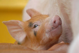 cheerful piglet. poster