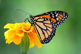 Fototapety monarch butterfly