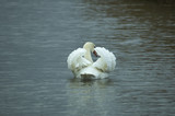 proud swan poster
