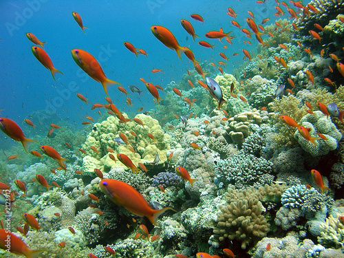 anthias 41